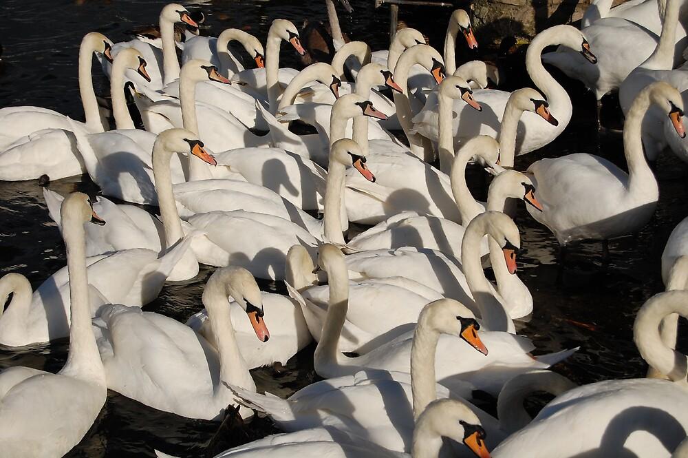 Swans by Kirsten Baiden-Amissah