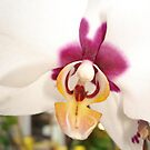 All Orchids have Faces by May Lattanzio