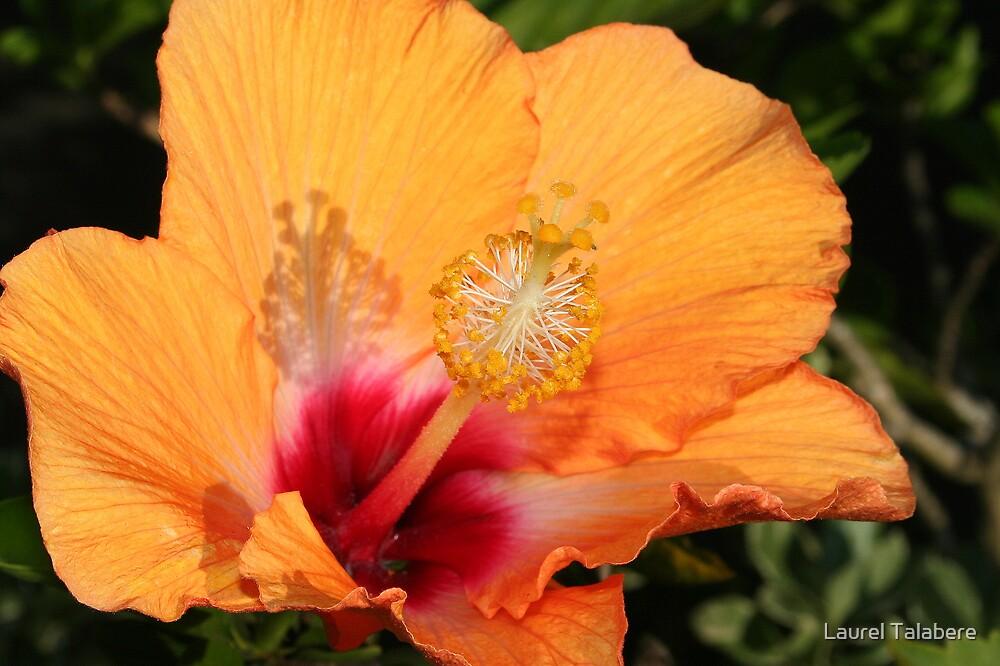 Yellow-orange Hibiscus by Laurel Talabere