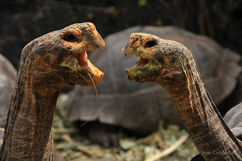 Dueling Tortugas  by Sue  Cullumber
