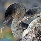 Flightless Cormorants by Sue  Cullumber