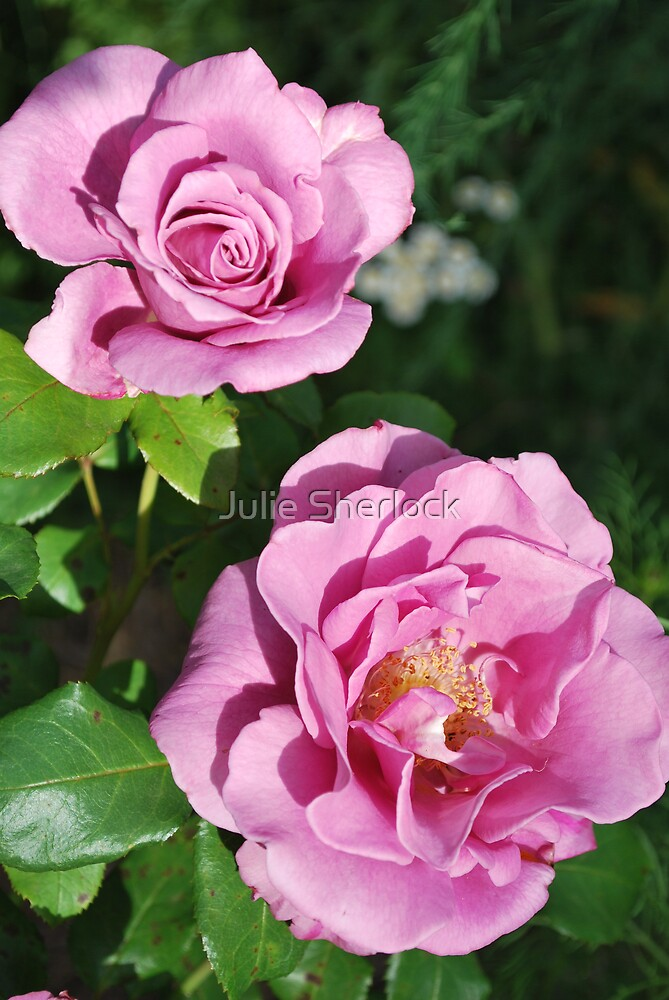 "Rosa ""Moonshadow"" by Julie Sherlock"