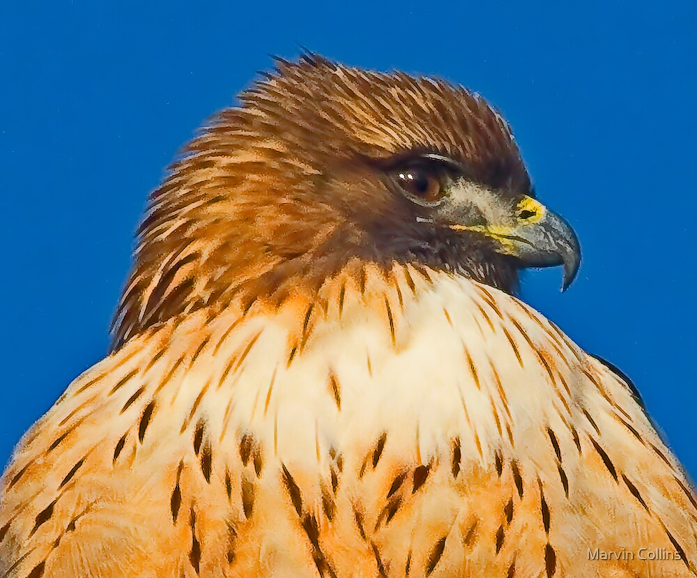 Red-Tailed Hawk Portrait by Marvin Collins