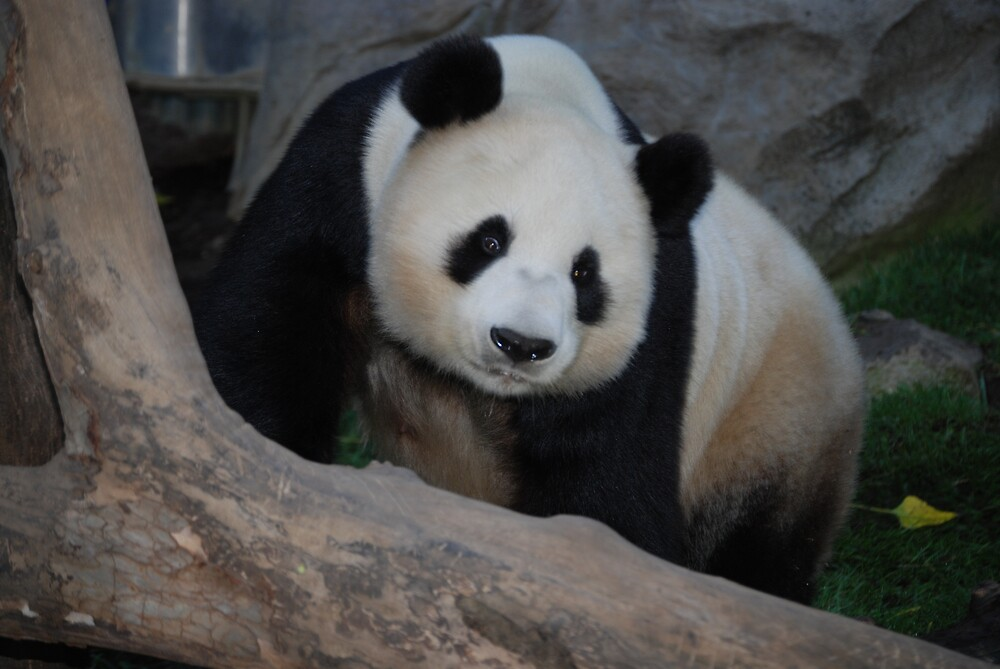 Panda Bear by debbiesue