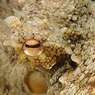 Common Sydney Octopus Eye by Andrew Trevor-Jones