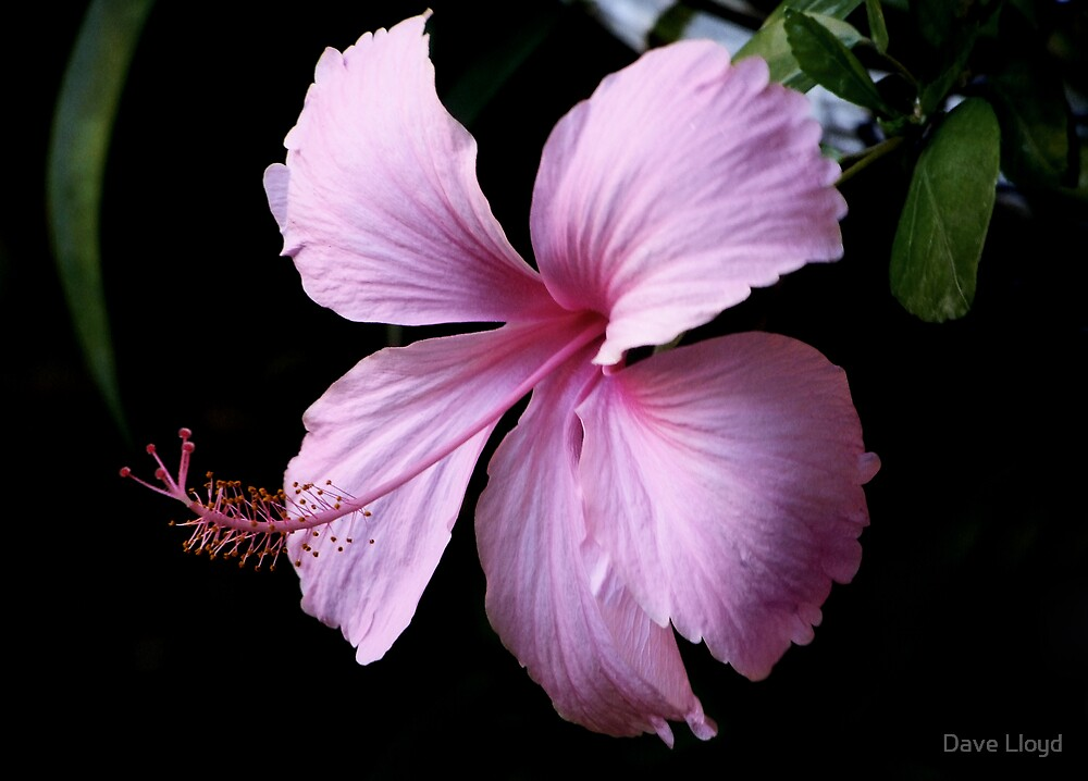 Pink Chaba by Dave Lloyd