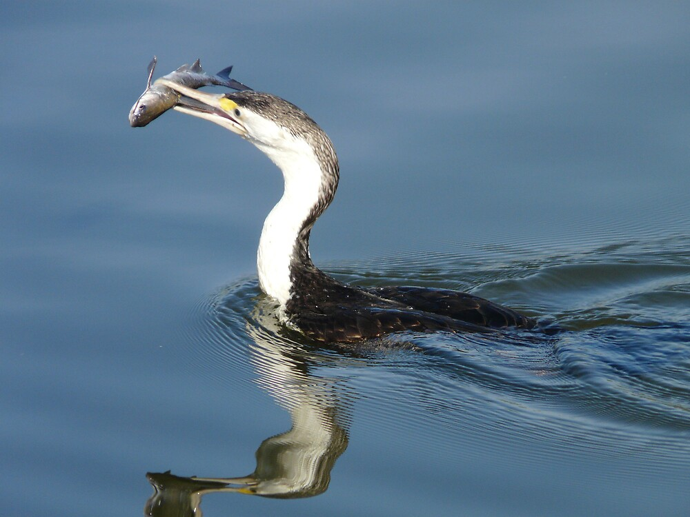 Cormorant feeding in Yellow Water NT by edward turnbull