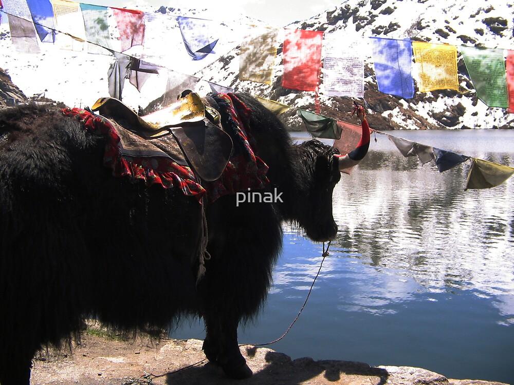 Stunning Yak by pinak