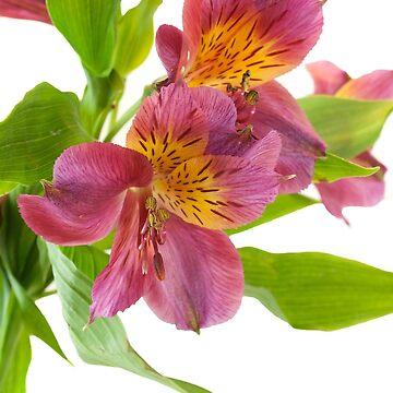 Alstroemeria Flowers by Kiwix