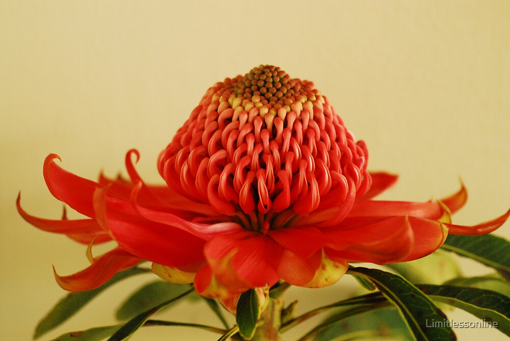 Waratah by Limitlessonline