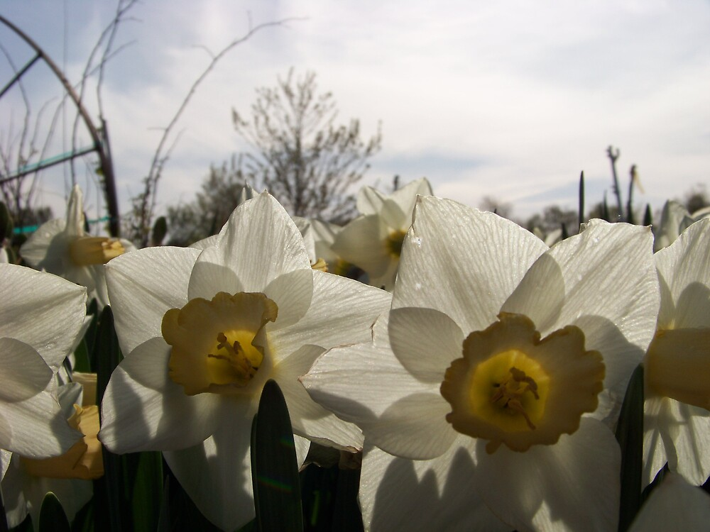 Dafodils  by Goldie2511