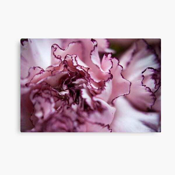 Purple-Edged Carnation Canvas Print