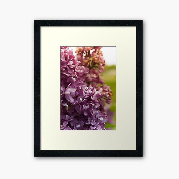 Lilac Bush Framed Art Print