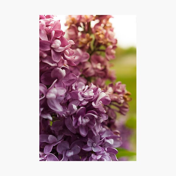 Lilac Bush Photographic Print