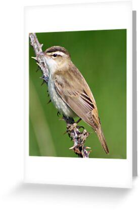 Sedge Warbler by TheGolfer