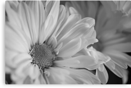 Black & White Daisies by mirandaburski