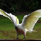 Sulphur Crested Cockatoo on touchdown by Bev Pascoe