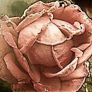 Old rose - Faded romance by Yvon van der Wijk