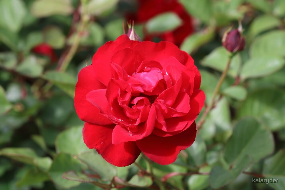 Red Rose and Bud by kalaryder