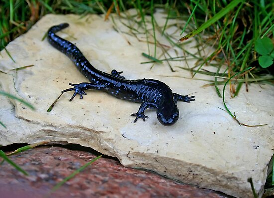 """Blue-Spotted Salamander"" by Vickie Emms 