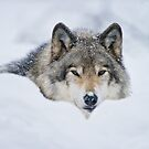 Timber Wolf In Snow by WolvesOnly