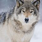 Timber Wolf In Snowfall by WolvesOnly