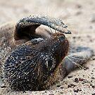 Newborn Sea Lion by Sue  Cullumber