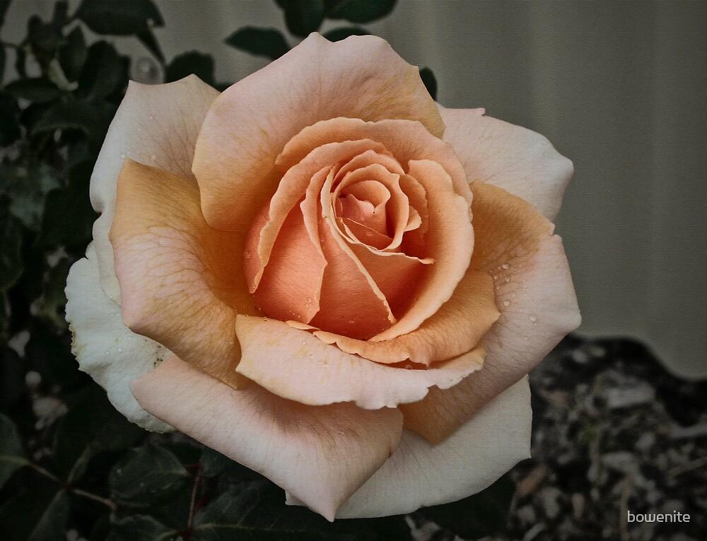 'Vintage Rose' by bowenite