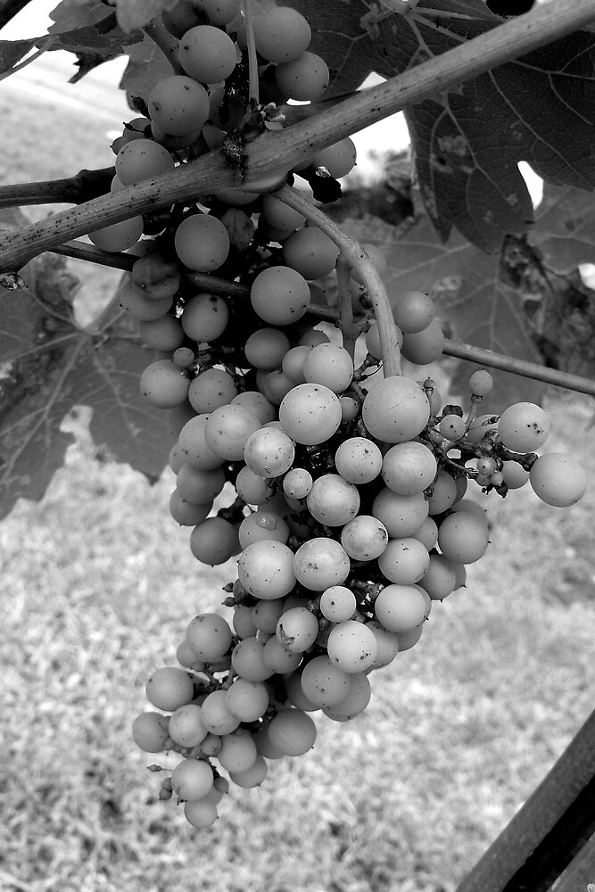 Grapes by Ragamuffin