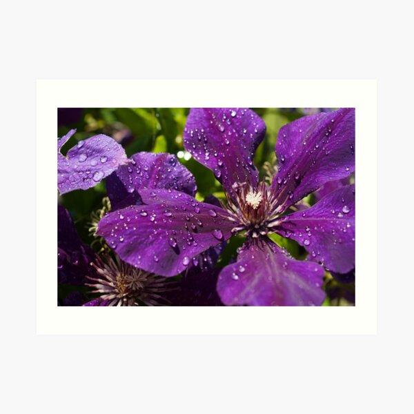 Dew Drops on Purple Flowers Art Print