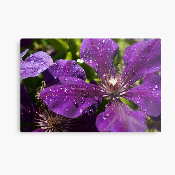 Dew Drops on Purple Flowers Metal Print
