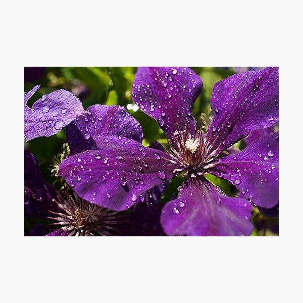 Dew Drops on Purple Flowers Photographic Print