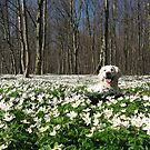 Ditte in the anemones by Trine