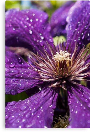 Dew Drops on Purple Flower by mirandaburski