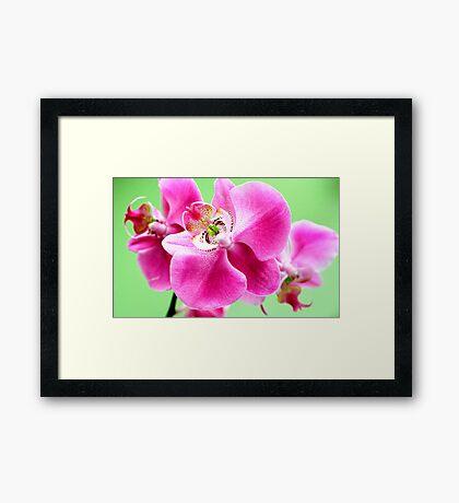 Phaelenopsis  Framed Print