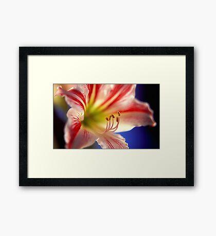 Amarilys Framed Print