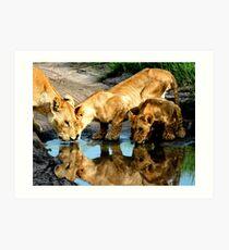 Reflections of Lions Art Print