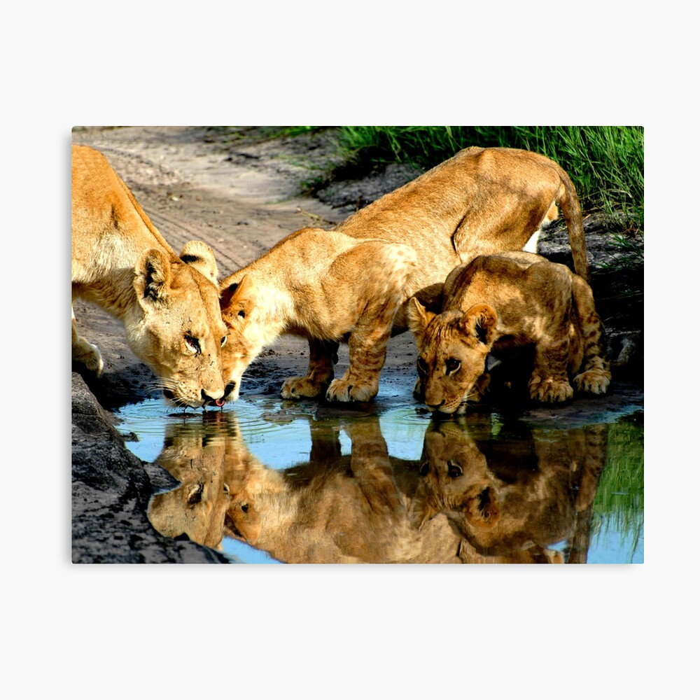 Reflections of Lions Canvas Print