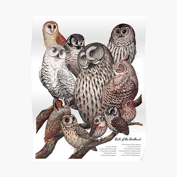 Owls of the Northeast Poster