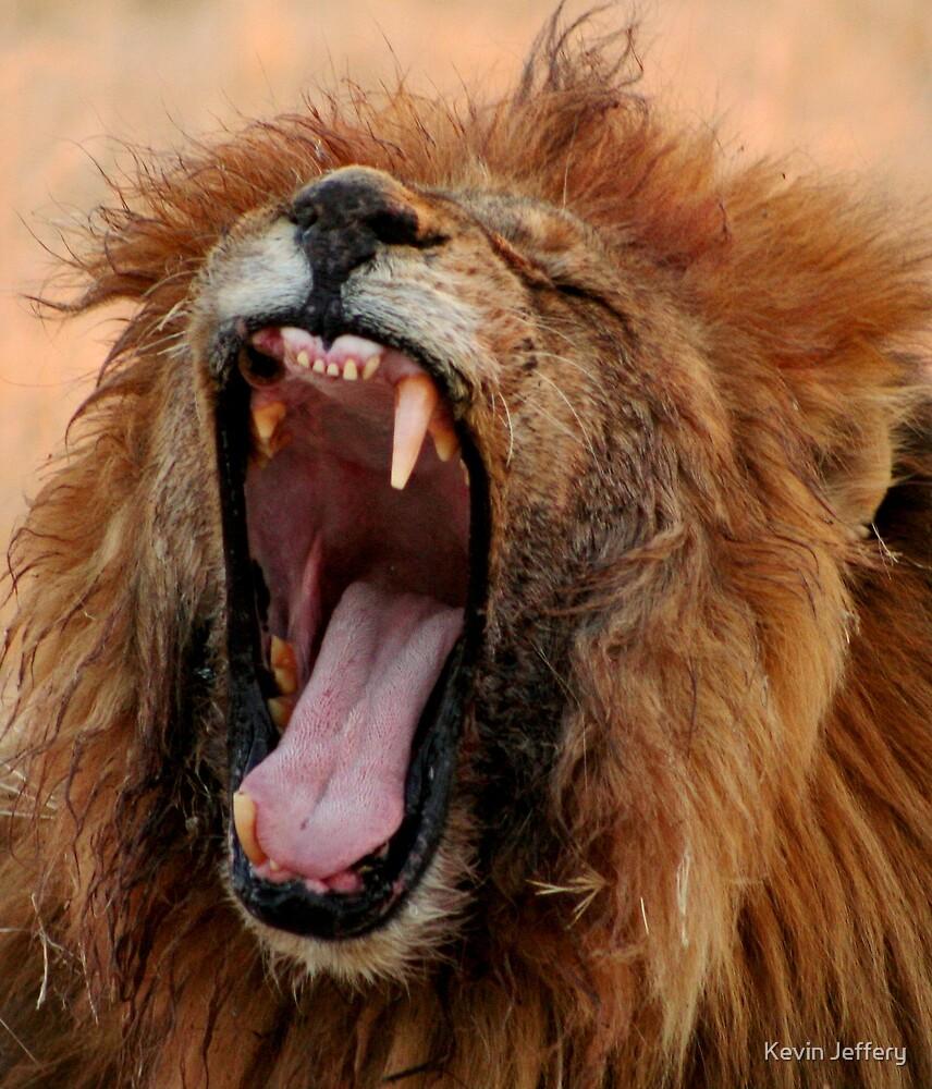 Male Lion Yawning by Kevin Jeffery