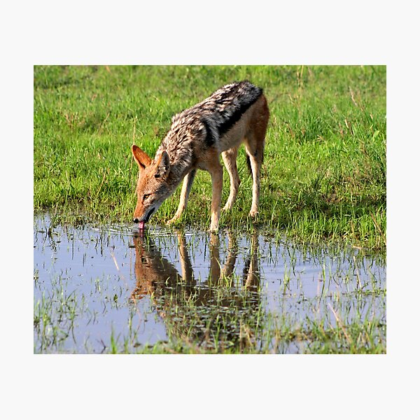 Black backed Jackal Photographic Print