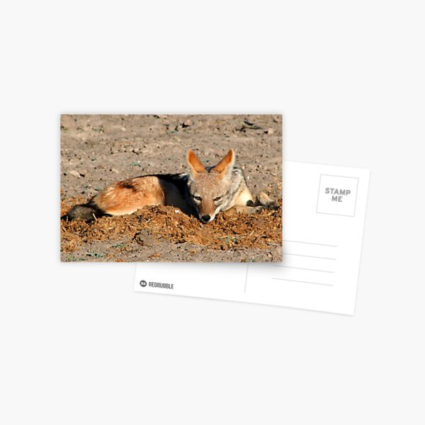 Black Backed Jackal Postcard