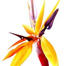 Bird of Paradise by George Kypreos