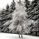 Snow covered trees by ronibgood