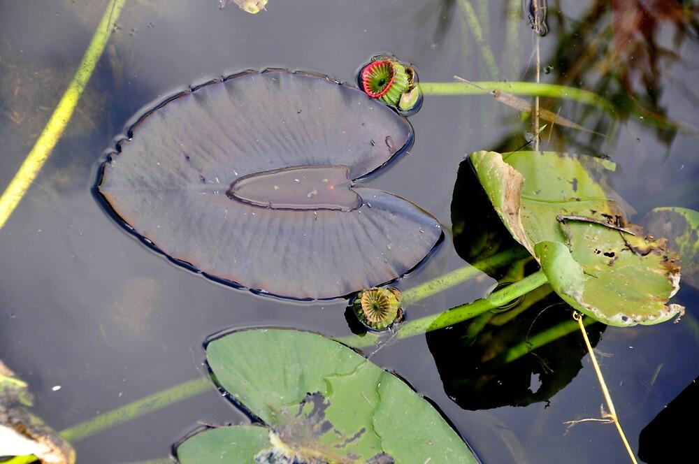 Florida Everglades - Water lillie pads by bertspix