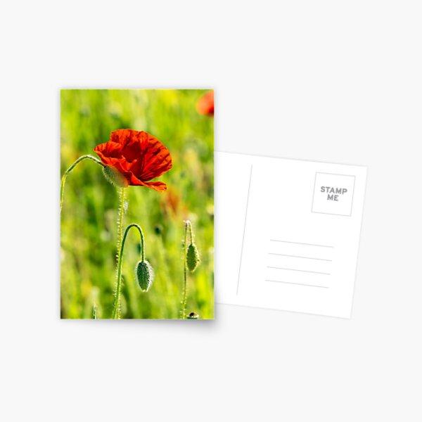 red poppy in the wheat field Postcard