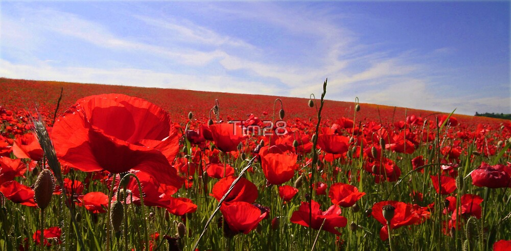 Bewdley Poppy Field  by Tim28