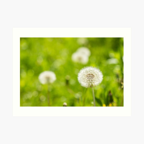 white dandelion on green grass blur background Art Print