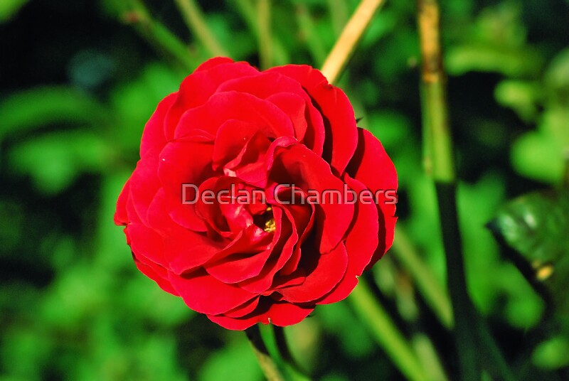 Rose by Declan Chambers