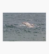 young bottlenose dolphin Photographic Print